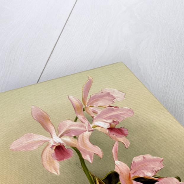 Cattleya victoria regina by F. Sander