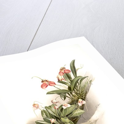 Masdevallia shuttleworthii and M. xanthocorys by F. Sander