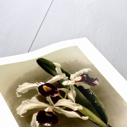 Laelia purpurata by F. Sander