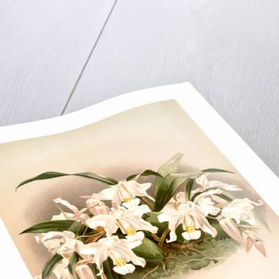 Coelogyne cristata maxima by F. Sander
