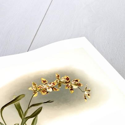 Odontoglossum excellens by F. Sander