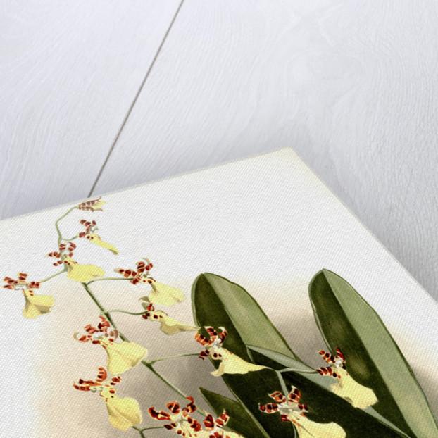 Oncidium splendidum by F. Sander