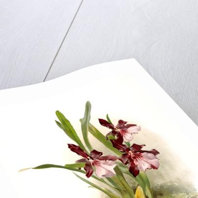 Miltonia moreliana by F. Sander