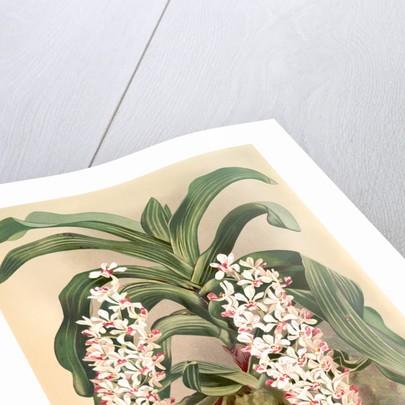 Saccolabium giganteum by F. Sander