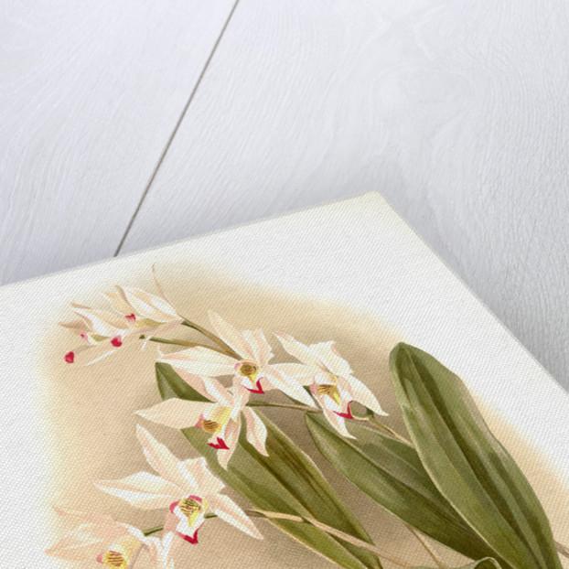 Laelia anceps Percivaliana by F. Sander