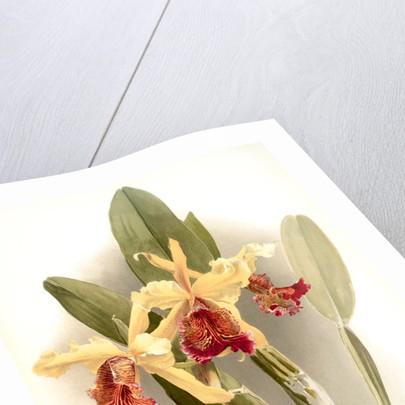 Cattleya dowiana var chrysotoxa by F. Sander