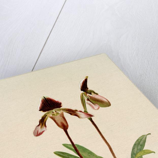 Cypripedium (hybridum) castleanum by F. Sander