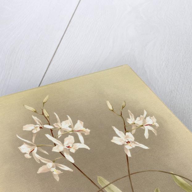 Laelia albida by F. Sander