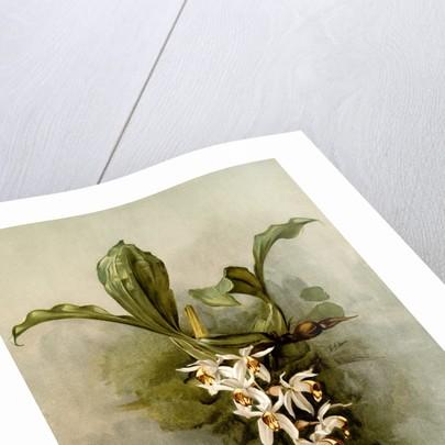 Coelogyne swaniana by F. Sander