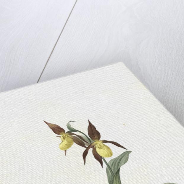 Cypripedium Calceolus, Sabot des Alpes; Eurasian Yellow Lady-Slipper, Ladies' slipper orchid by Pierre Joseph Redouté