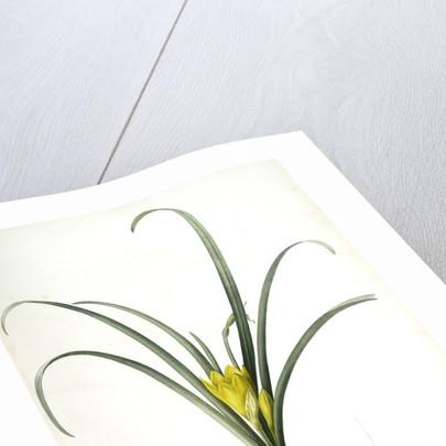 Amaryllis lutea, Sternbergia lutea; Amaryllis jaune, Yellow Amaryllis by Pierre Joseph Redouté