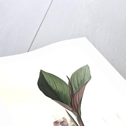 Koemferia longa, Kaempferia rotunda; Kempférie longue, Resurrection Lily; Ginger by Pierre Joseph Redouté