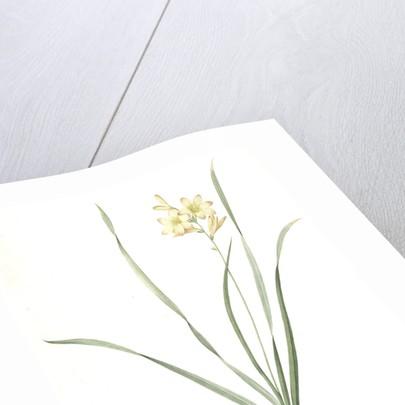 Gladiolus lineatus, Tritonia lineata; Glaïeul rayé, Lined Tritonia; Pencilled Corn-flag by Pierre Joseph Redouté