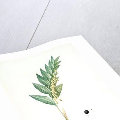 Polygonatum vulgare, Polygonatum officinale; Polygonatum sceau de Salomon, Common Solomon's Seal by Pierre Joseph Redouté