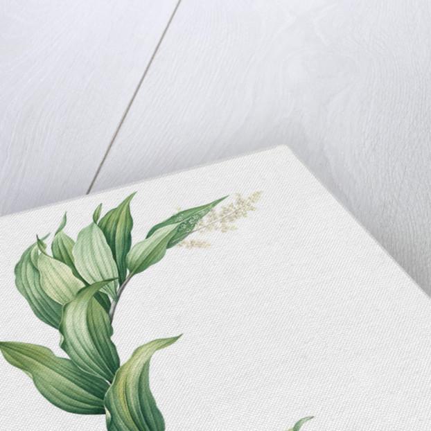Smilacina racemosa, Smilacine en grappe; False Solomon's Seal, False spikenard; Solomon's zigzag; Treacle berry by Pierre Joseph Redouté