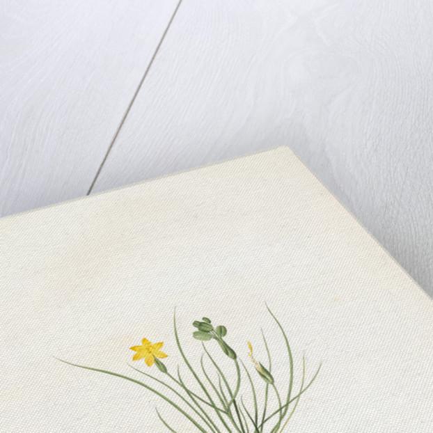 Sisyrinchium tenuifolium, Bermudienne a feuilles menues by Pierre Joseph Redouté