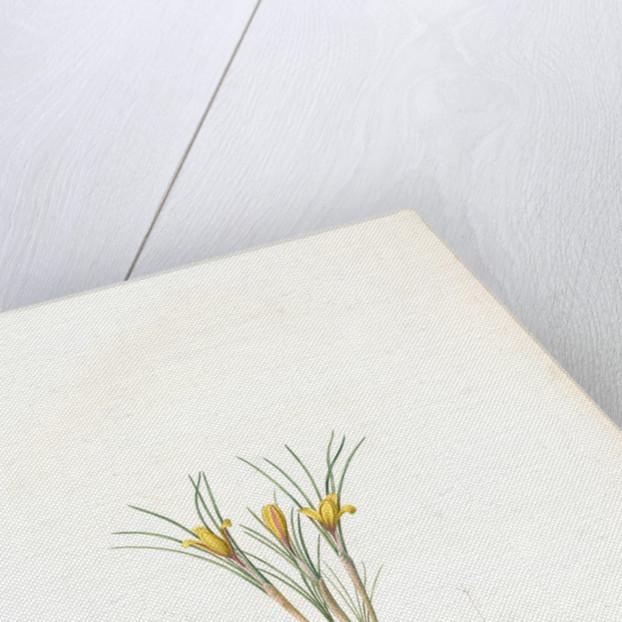 Crocus susianus, Safran de Suse; Cloth-of-Gold Crocus by Pierre Joseph Redouté