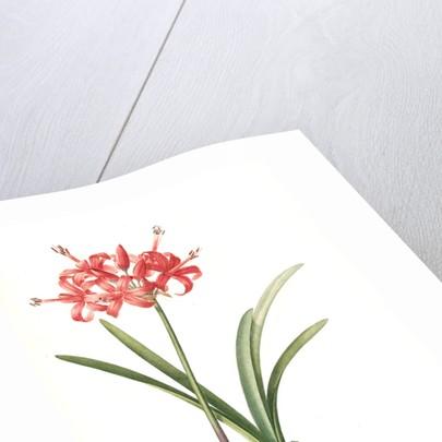 Amaryliis Sarniensis, Amaryllis Guernesienne by Pierre Joseph Redouté