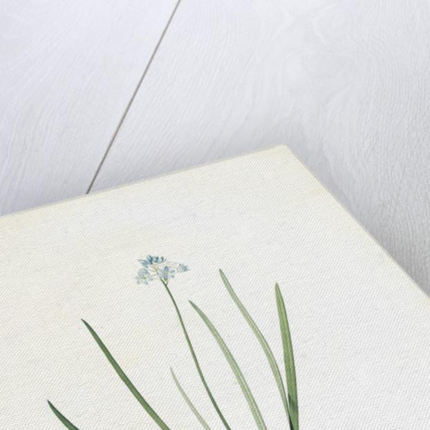 Scilla umbellata, Scilla verna; Scille en ombelle, Spring squill by Pierre Joseph Redouté