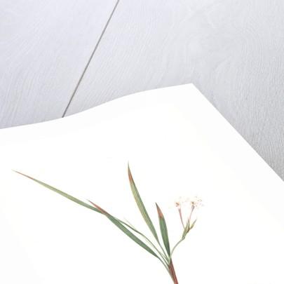 Gladiolus inclinatus, Babiana tubiflora; Glaïeul incliné, Long-tubed Babiana by Pierre Joseph Redouté