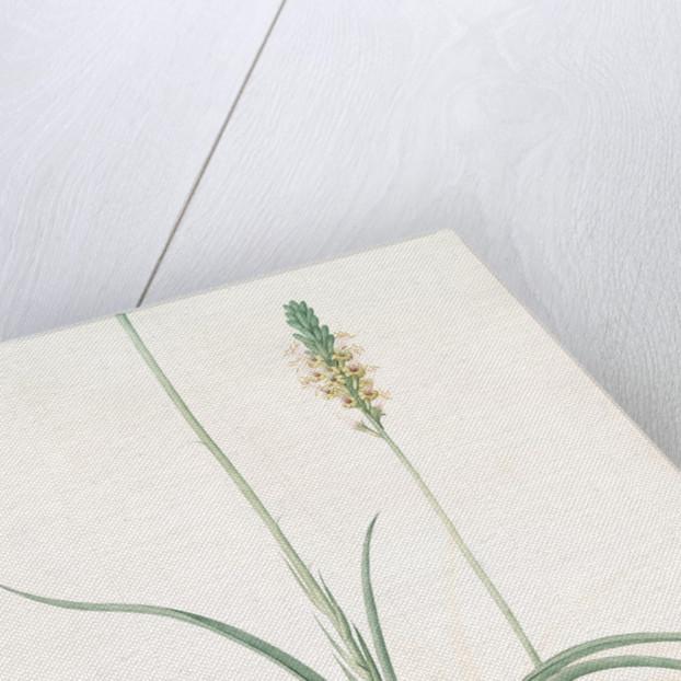 Agave yuccaefolia, Agave à feuilles de Yucca by Pierre Joseph Redouté