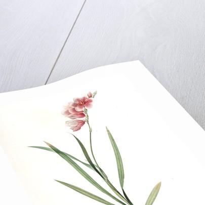 Ixia hyalina, Tritonia hyalina; Ixia demi-transparente; Tritonia by Pierre Joseph Redouté