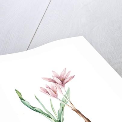 Colchicum variegatum, Colchique tacheté; Greek Autumn-Crocus by Pierre Joseph Redouté