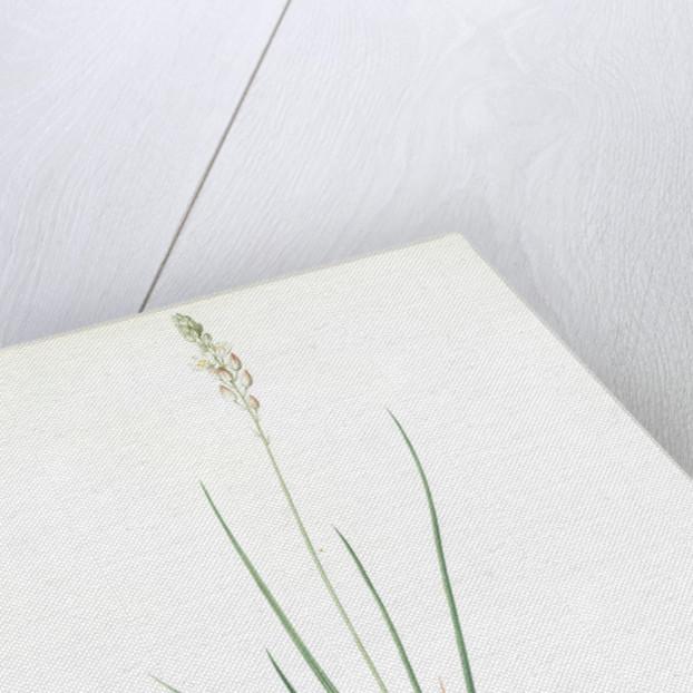 Ornithogalum tenuifolium, Ornithogalum graminifolium; Ornithogale à feuilles étroites, Rush-leaved Star of Bethlehem by Pierre Joseph Redouté