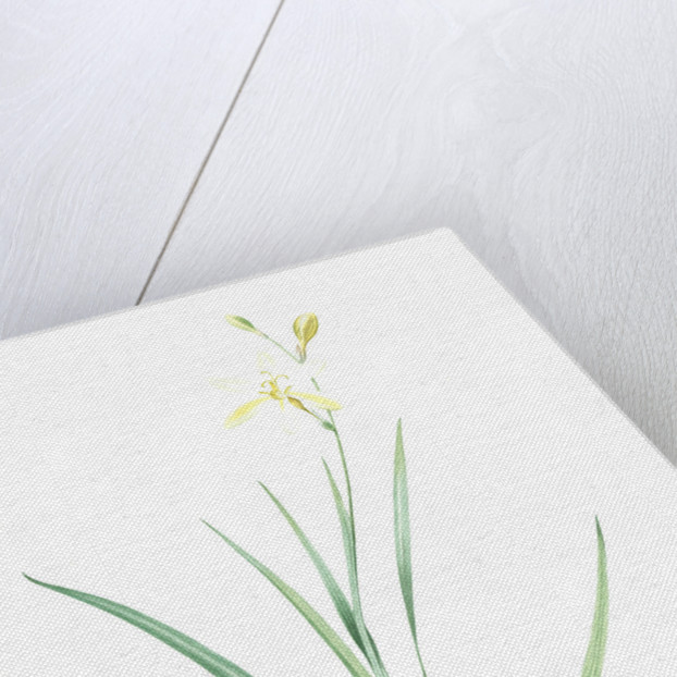 Ixia anemonae flora, Sparaxis bulbifera; Ixia fleur d'anémone, Wand flower by Pierre Joseph Redouté