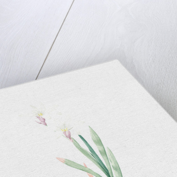 Ixia Liliago, Sparaxis grandiflora var. Liliago; Ixia fleur de lis; Wand-flower by Pierre Joseph Redouté