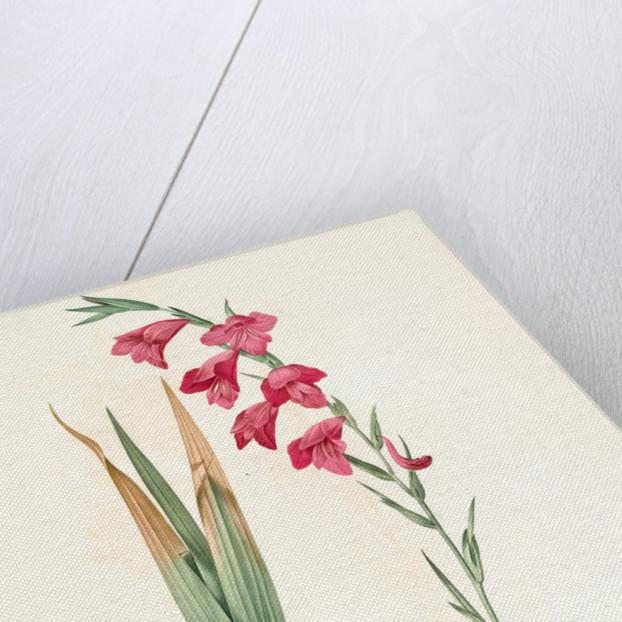 Gladiolus communis, Glaïeul commun, Corn flag by Pierre Joseph Redouté