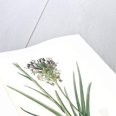 Agave spicata, Agave en épi by Pierre Joseph Redouté
