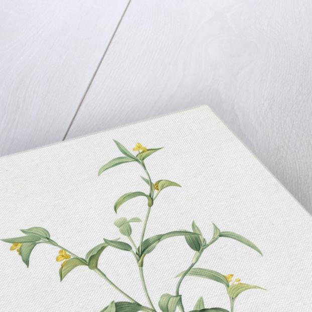 Commelina africana, Comméline d'Afrique, African dayflower by Pierre Joseph Redouté
