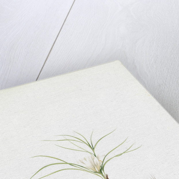 Melanthium gramineum, Melanthium à feuilles de gramen, Grass-leaved Bunchflower by Pierre Joseph Redouté