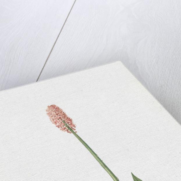 Helonias bullata, Helonias rose; Swamp Pink, Spear-leaved Helonias by Pierre Joseph Redouté