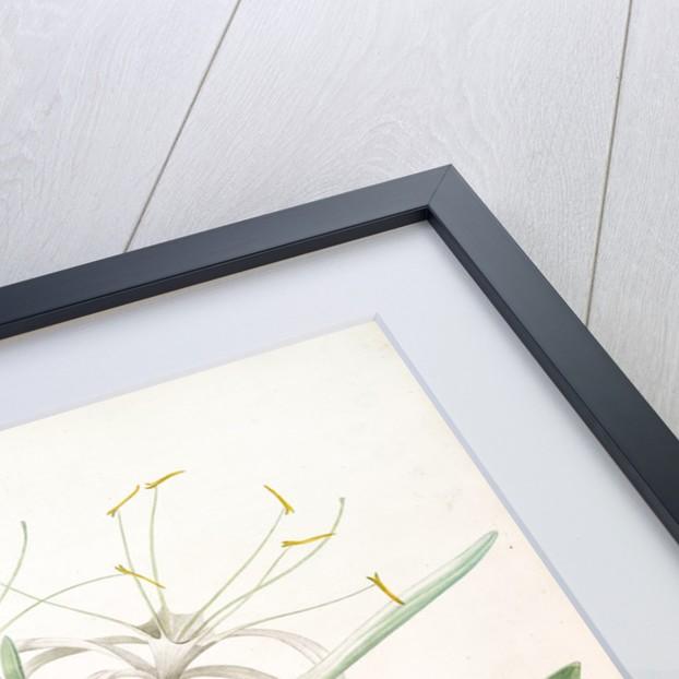 Pancratium declinatum, Hymenocallis caribaea; Pancrace à tiges penchèes, Caribbean Spider-Lily by Pierre Joseph Redouté