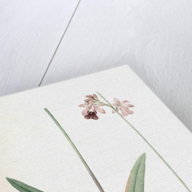 Epidendrum bifidum, Epidendre á deux lobes, Thicket butterfly orchid by Pierre Joseph Redouté