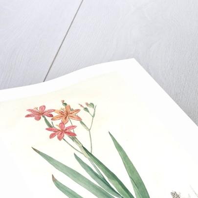 Belamcanda, Belamcanda punctata; Blackberry lily by Pierre Joseph Redouté