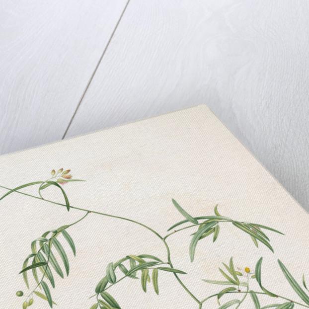 Medeola angustifolia, Geitonoplesium cymosum; Medeola à feuilles étroites by Pierre Joseph Redouté