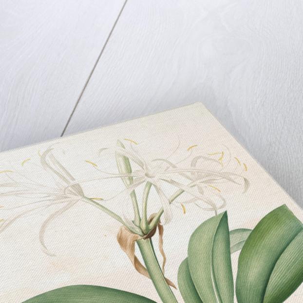 Pancratium fragrans, Hymenocallis sp; Pancrace odorant, Spider Lily by Pierre Joseph Redouté