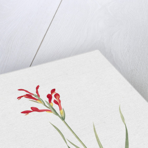 Antholyza cunonia, Antholyse papilionacée, Gladiolus; Sword Lily; Corn flag; Scarlet-flowered Antholyza by Pierre Joseph Redouté