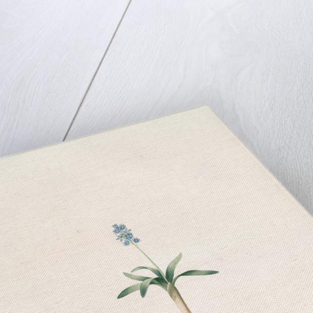 Scilla lingulata, Scille à feuilles linguiformes by Pierre Joseph Redouté