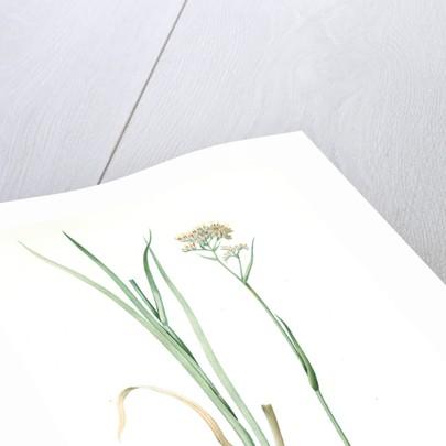 Heritiera tinctorum, Lachnanthes tinctorum; Heritiera des teinturiers, Paint Root; Red Root; Redleg by Pierre Joseph Redouté