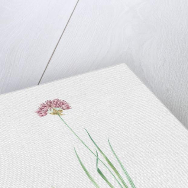 Allium roseum, Ail rose, Rose garlic by Pierre Joseph Redouté