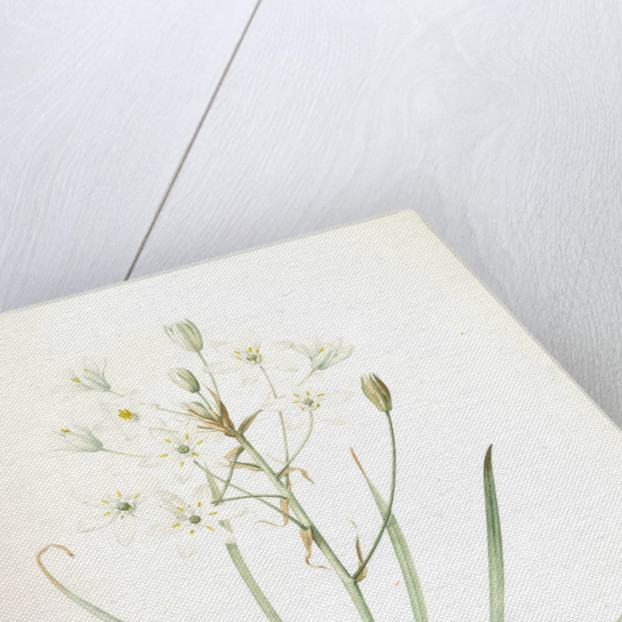 Ornithogalum umbellatum, Ornithogale en ombelle; Star of Bethlehem by Pierre Joseph Redouté