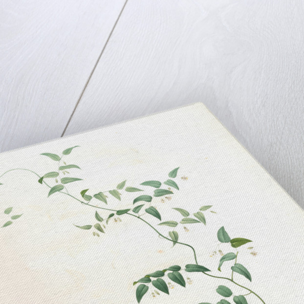 Medeola asparagoides, Asparagus asparagoides by Pierre Joseph Redouté
