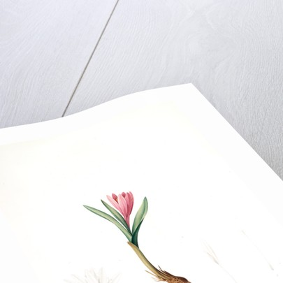 Bulbocodium vernum, Bulbocode printanier, Spring Meadow Saffron by Pierre Joseph Redouté