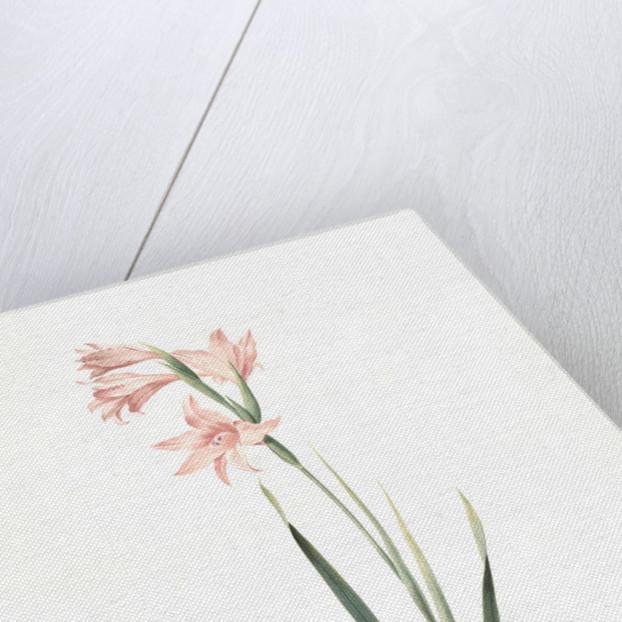 Gladiolus carneus, Fladieul couleur de chair, Flesh-colored sword lily by Pierre Joseph Redouté