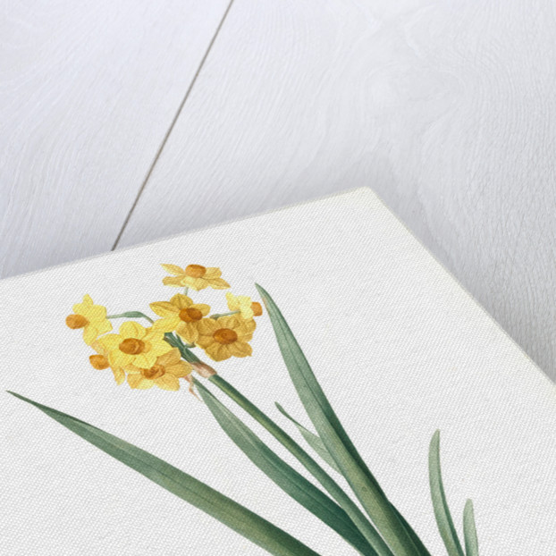 Narcissus Tazetta, Narcissus dubius; Narcisse douteux; Polyanthes Narcissus, cream narcissus; bunch flowered narcissus by Pierre Joseph Redouté