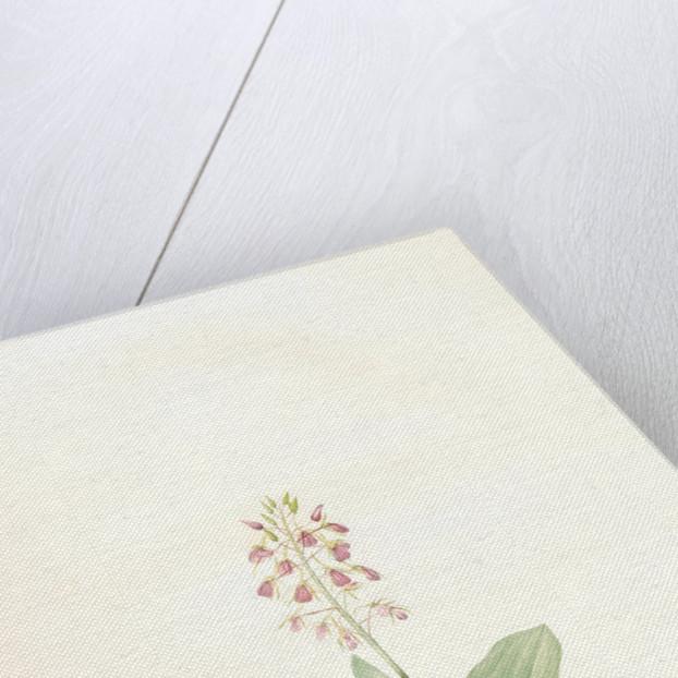 Ophrys lilifolia, Liparis liliifolia; Ophrys à feuilles en lis; Lily-leaved Ophryas by Pierre Joseph Redouté